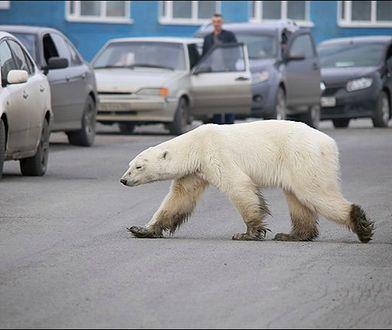 Ostatni raz niedźwiedź widziany był tutaj 40 lat temu