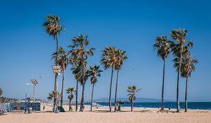 Palmy będą częścią tzw. strefy egzotycznej Promenady Zdrowia. Podobne rosną już na Bornholmie czy w Ystad