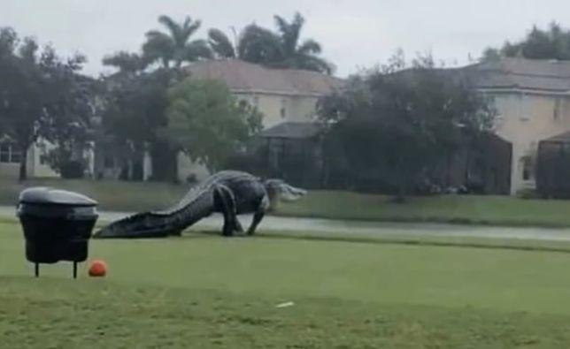 Olbrzymi aligator na polu golfowym w USA