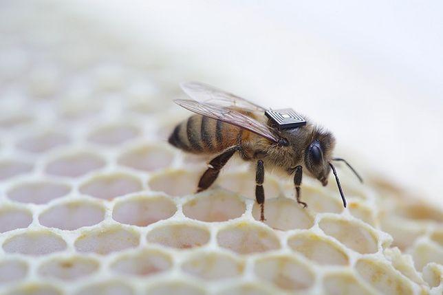 Mikrokomputery na grzbietach pszczół - Intel spieszy na ratunek owadom