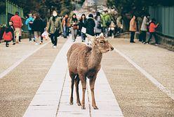 Japonia. Jelenie błąkają się po mieście Nara w poszukiwaniu pożywienia