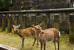 Jelenie z miasta Nara z plastikiem w żołądkach. Umierają przez turystów