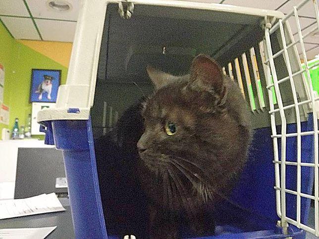 Kot przyleciał sam na Lotnisko Chopina. Schronisko szuka jego właściciela