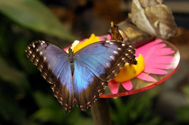 Motyle z Ameryki Południowej w warszawskim zoo