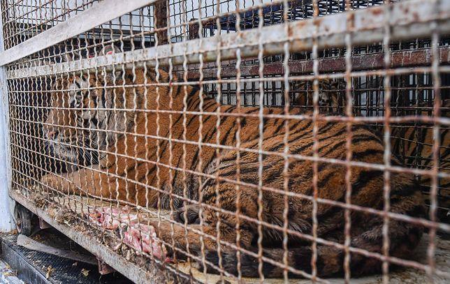 Uwięzione tygrysy. W akcji ich ratowania bierze udział policja