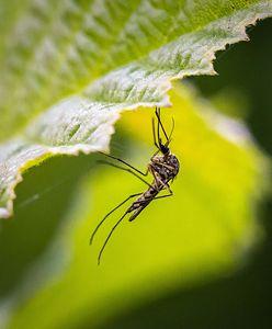 Rośliny odstraszające komary i muchy. Warto je mieć w ogrodzie lub na balkonie