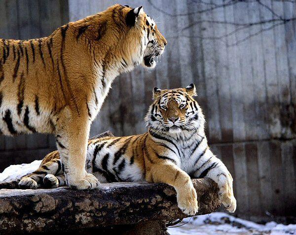 Tygrysy z zoo w Kopenhadze