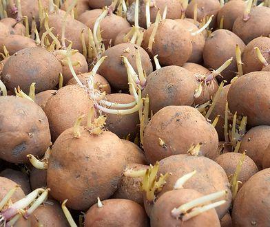 Nie wyrzucaj ziemniaków z pędami. Możesz je użyć pod jednym warunkiem
