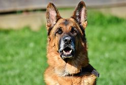 Warszawa. Kończy się adaptacja czterech psów służbowych w stołecznej policji