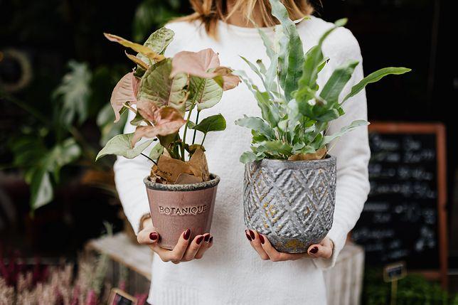 Te rzeczy mogą sprawić, że kwiaty doniczkowe zwiędną
