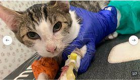 """Koty chorują na panleukopemię i pilnie potrzebują pomocy. """"Ich stan jest ciężki"""""""