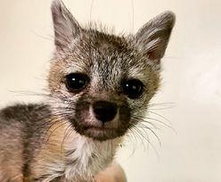 USA. Spotkali na spacerze małego lisa. Poszedł za rodziną do domu