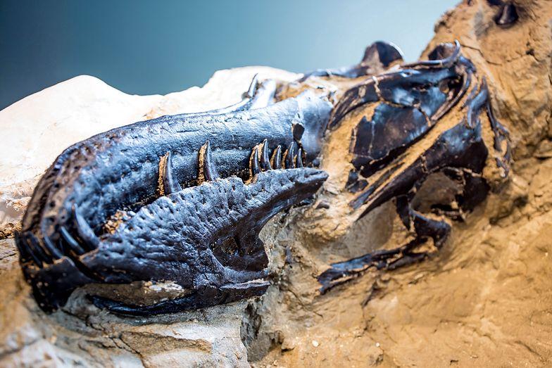 Przełomowe odkrycie. Dwa giganty splecione w śmiertelnym uścisku. Mają 67 mln lat
