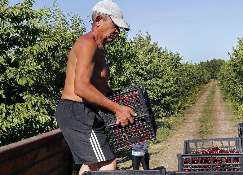 Chiny niszczą plony. Problem z wiśniami spotkał się ze zdecydowaną reakcją władz