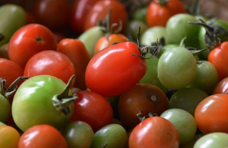 Niedojrzałe pomidory wywołują zatrucia pokarmowe