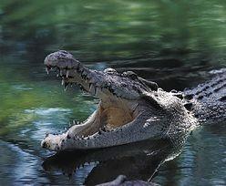 Afryka. Matka wyciągnęła syna ze szczęk krokodyla. Miała przebłysk