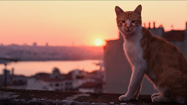''Kedi - sekretne życie kotów'': film o kotach, który podbił świat. Tylko u nas polski zwiastun [WIDEO]