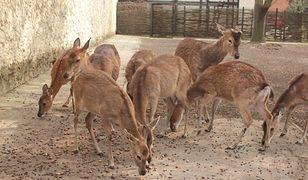 Warszawskie Zoo robi zapasy na zimę. Ruszyła zbiórka orzechów i żołędzi dla zwierząt