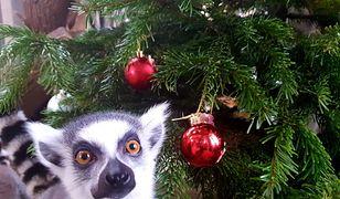 Warszawskie Zoo organizuje świąteczną zbiórkę. Możesz podarować prezent dla zwierzaków