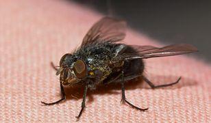 Mucha to bardzo dokuczliwy owad
