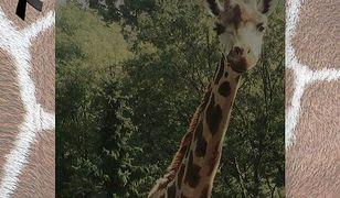 Nie żyje żyrafa z warszawskiego zoo. Miała 21 lat