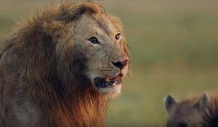 Poszli na polowanie. Jednego z nich zadeptał słoń, a później pożarły go lwy
