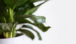 Gdy roślina zaczyna chorować, szybko zobaczymy zmiany na liściach