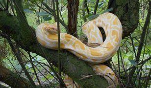 W lesie niedaleko Poznania na jednym z drzew zauważono 1,5-metrowego pytona tygrysiego