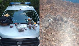 Przerażające odkrycie. W lesie było kilkadziesiąt wielkich pająków