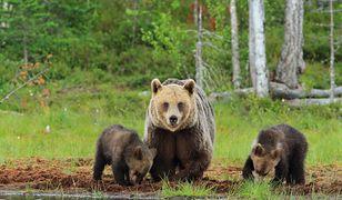 """Rodzina niedźwiedzi znów """"złapana"""" na wideo (fot. ilustracyjne)"""