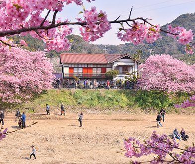 """Widok potrafi zapierać dech. Skąd wziął się japoński zwyczaj """"hanami"""""""
