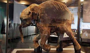 Znaleźli mamuta sprzed 42 tys. lat