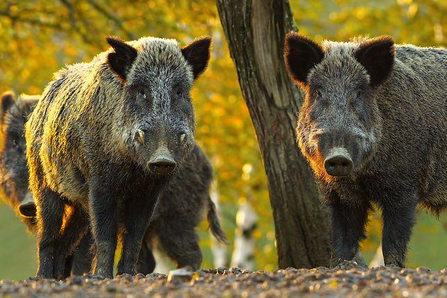 ASF to choroba dotykająca świnie i dziki