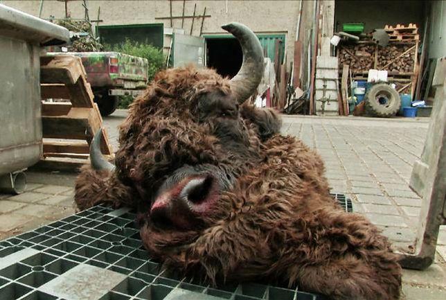 Mięso zastrzelonego w Niemczech żubra zostało przekazane na grilla podczas lokalnego festynu.