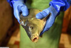 Karp na święta. Pracownik rybnego może odmówić zabicia