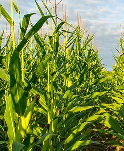 Dramat koło Żyrardowa. 23-latek zginął na polu kukurydzy