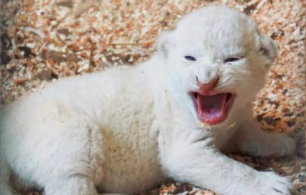 W zoo w Borysewie urodziły się białe lwiątka. To zagrożony gatunek, na świecie jest ich tylko około stu