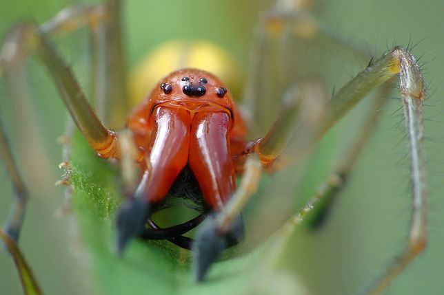 Wrocław. Jadowite pająki. Ten gatunek pajęczaków, choć na fotografii przedstawia się pięknie, do miłych nie należy