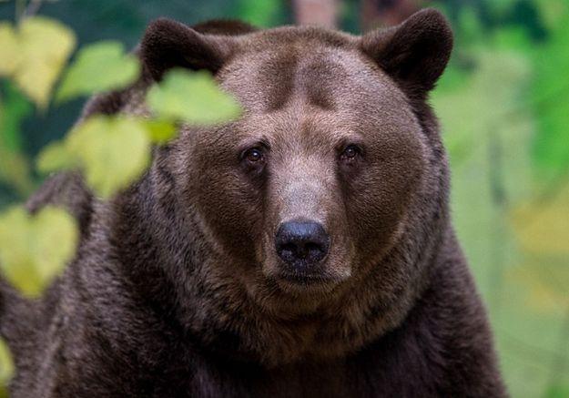 Mężczyzna, który wtargnął na wybieg dla niedźwiedzi w Warszawie, odnaleziony