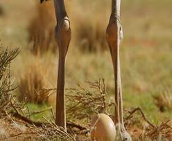 Zaskakujące odkrycie. Badają przeszłość człowieka za pomocą... strusich jaj