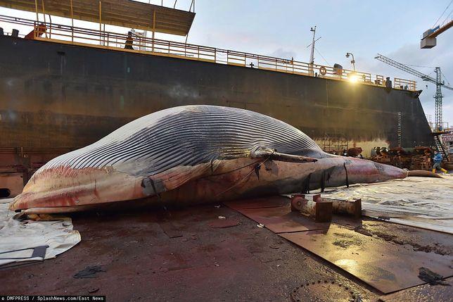 Gigantyczny martwy wieloryb wyłowiony z Marina Piccola w Sorrento