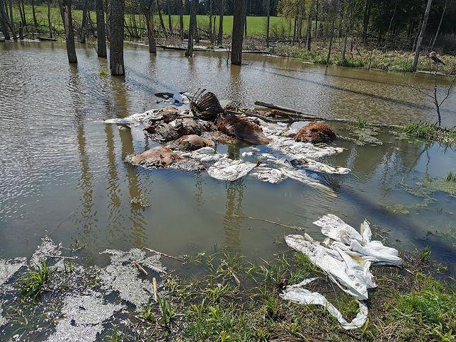 Leśnicy poinformowali, że ktoś wyrzucił do lasu co najmniej sześć rozkładających się zwierząt