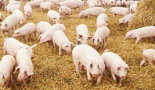 Ukraina ponownie zakazała importu polskiej wieprzowiny