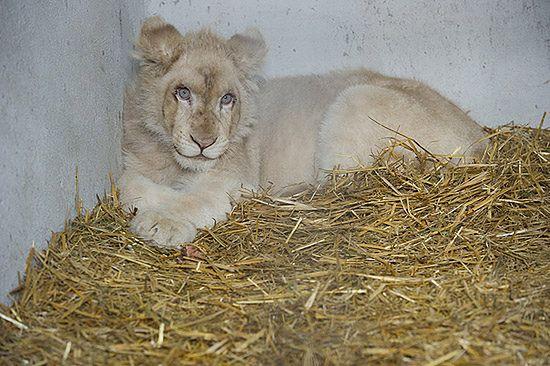 Jedyny taki lew w Polsce - wymyśl dla niego imię