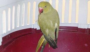 Bielany. Przemarznięta papuga aleksandretta usiadła na ich balkonie