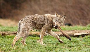 Nowa teoria w sprawie wilka z Bieszczad. Był karmiony, aby fotografowie pstrykali zdjęcia