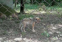 Turystka krytykuje rezerwat w Białowieży. Dyrektor odpowiada na jej zarzuty
