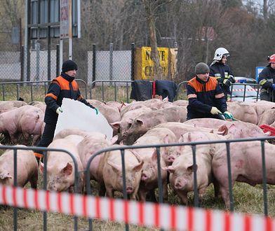 Przewrócona ciężarówka ze świniami. Zwierzęta są badane przez weterynarza