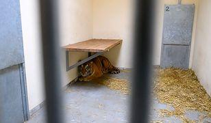 Sekcja zwłok tygrysa. Wiadomo, co było przyczyną śmierci zwierzęcia