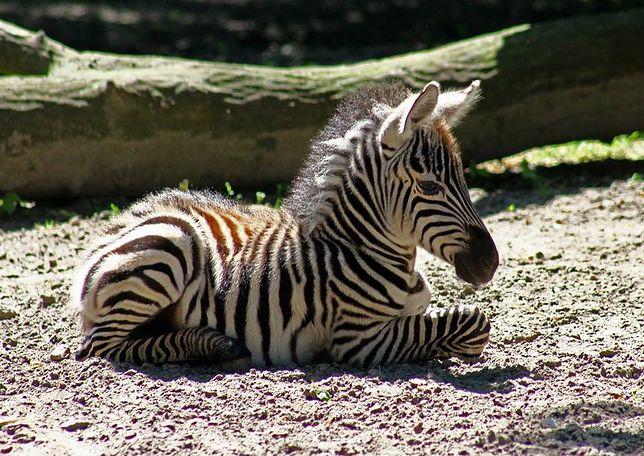 W zoo urodziły się lamy i zebra (ZDJĘCIA)